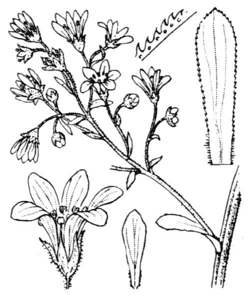 Saxifraga cotyledon L. - illustration de coste