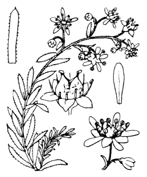 Saxifraga aizoides L. [1753] - illustration de coste