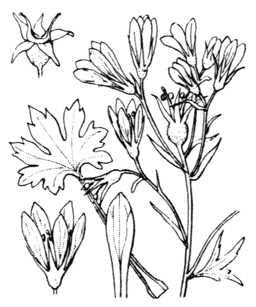 Saxifraga geranioides L. - illustration de coste