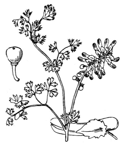 Fumaria capreolata L. - illustration de coste