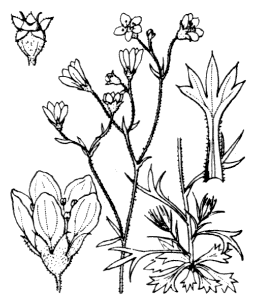 Saxifraga hypnoides L. - illustration de coste