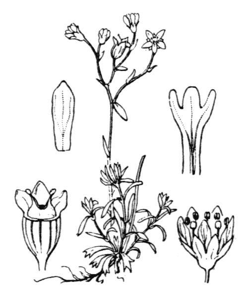 Saxifraga moschata Wulfen - illustration de coste