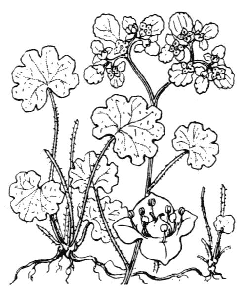Chrysosplenium alternifolium L. - illustration de coste