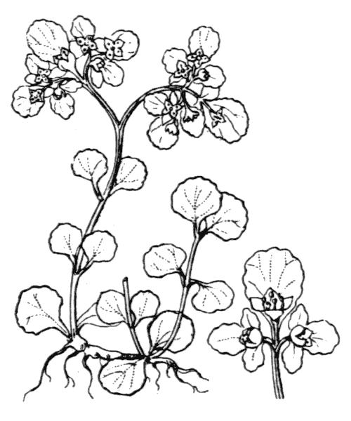 Chrysosplenium oppositifolium L. - illustration de coste