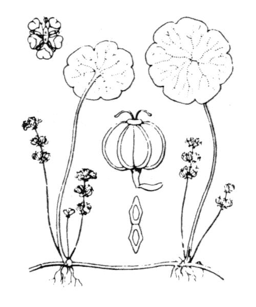 Hydrocotyle vulgaris L. - illustration de coste