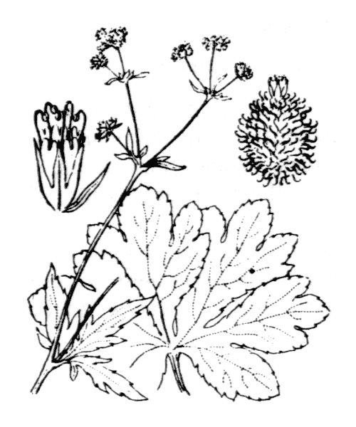 Sanicula europaea L. - illustration de coste