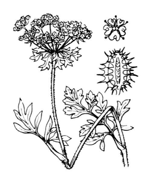 Daucus carota subsp. gummifer (Syme) Hook.f. - illustration de coste
