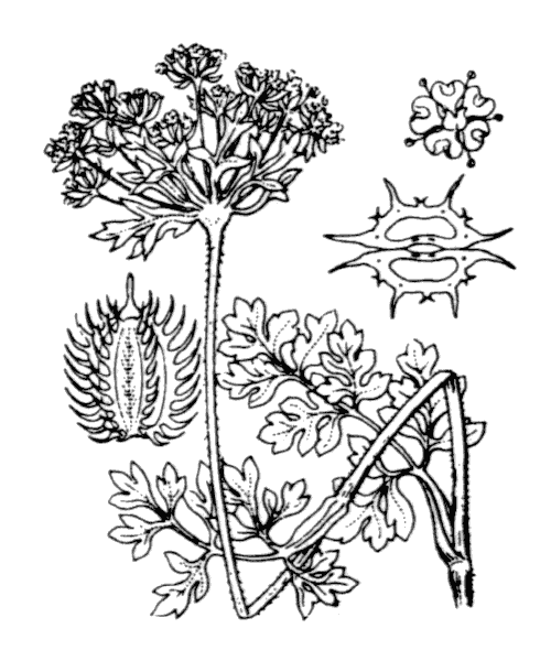 Daucus carota subsp. hispidus (Desf.) Heywood - illustration de coste