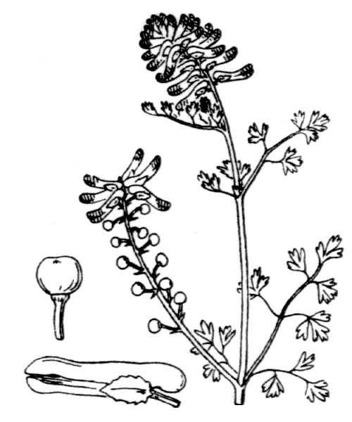 Fumaria officinalis L. - illustration de coste