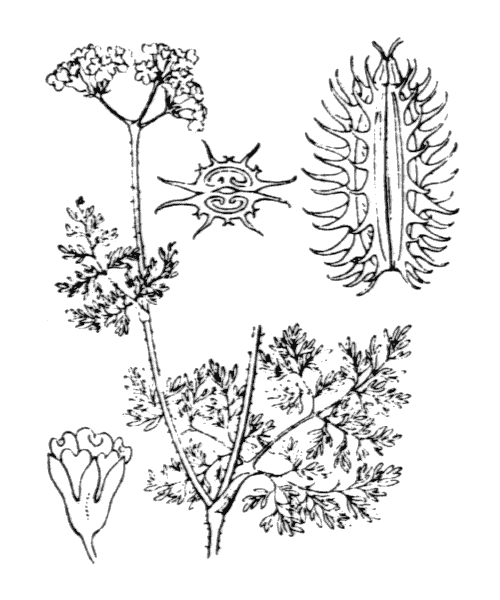 Caucalis platycarpos L. [1753] - illustration de coste