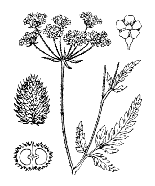Torilis japonica (Houtt.) DC. - illustration de coste