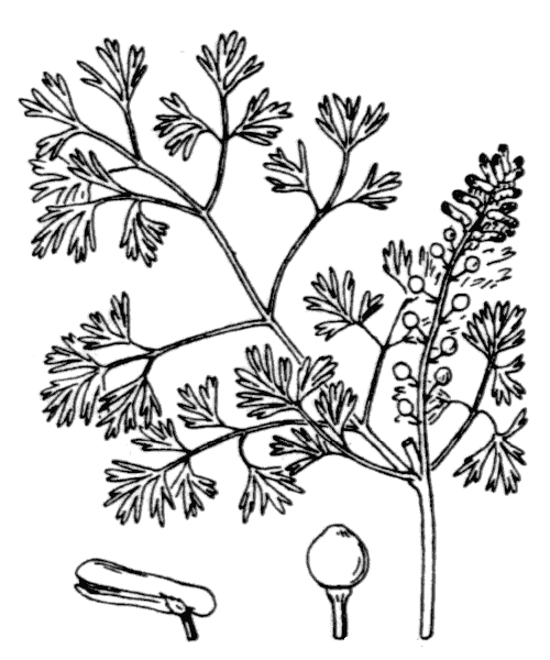 Fumaria parviflora Lam. - illustration de coste