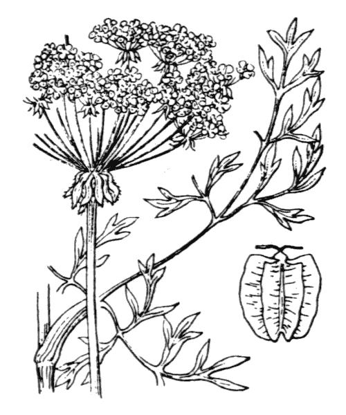 Laserpitium gallicum L. - illustration de coste