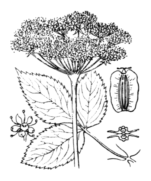 Angelica sylvestris L. - illustration de coste