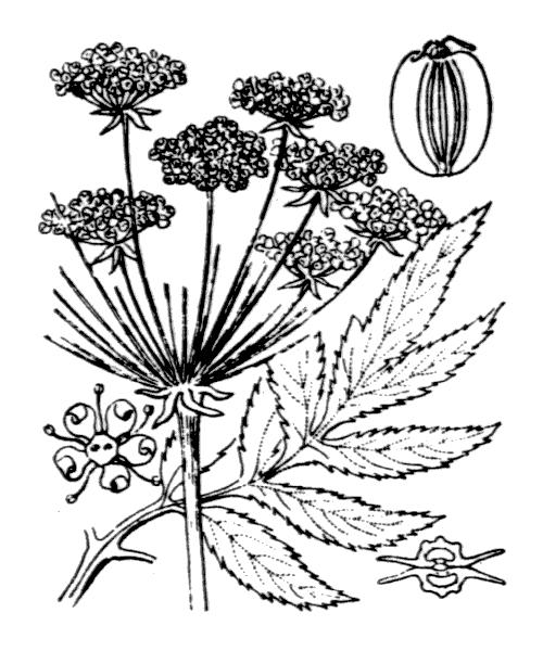 Angelica razulii Gouan - illustration de coste