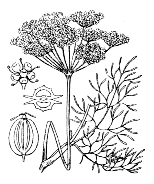 Anethum graveolens L. - illustration de coste