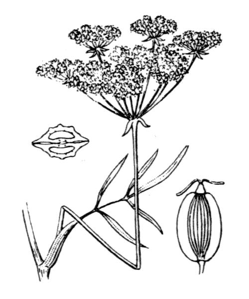 Peucedanum gallicum Latourr. - illustration de coste
