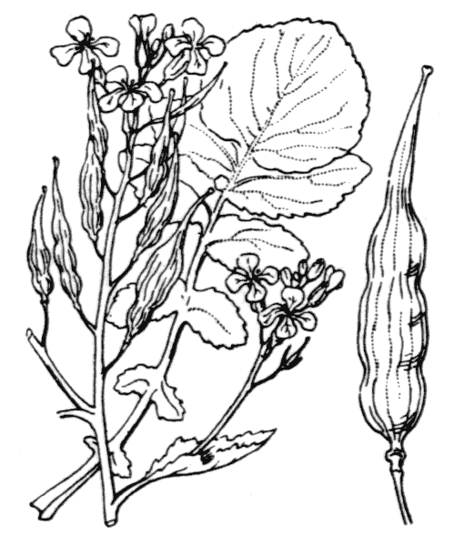Raphanus sativus L. - illustration de coste