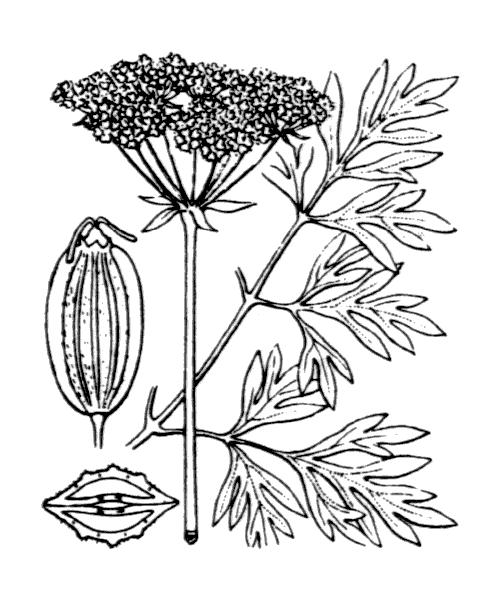 Xanthoselinum alsaticum subsp. venetum (Spreng.) Reduron, Charpin & Pimenov - illustration de coste