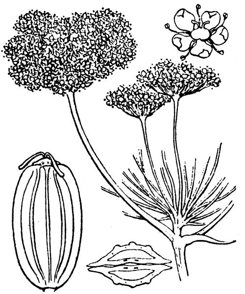 Ferula communis L. [1753] - illustration de coste