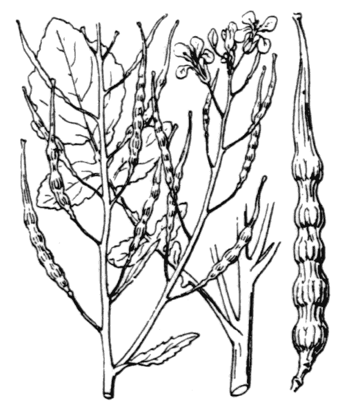 Raphanus raphanistrum L. - illustration de coste