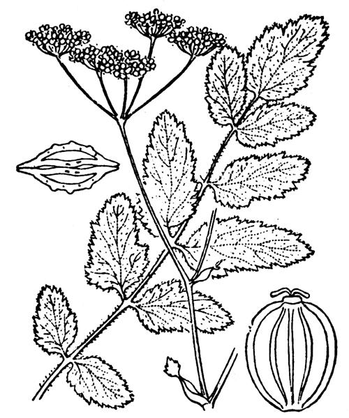 Pastinaca kochii Duby subsp. kochii - illustration de coste