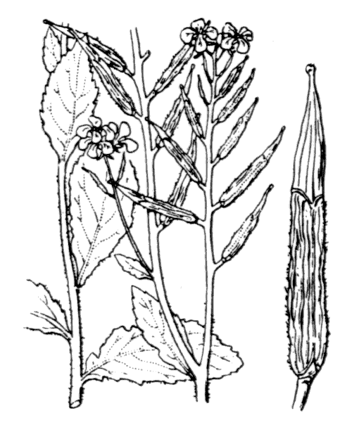 Sinapis arvensis L. - illustration de coste
