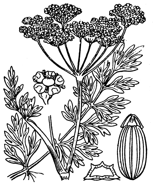 Silaum silaus (L.) Schinz & Thell. - illustration de coste
