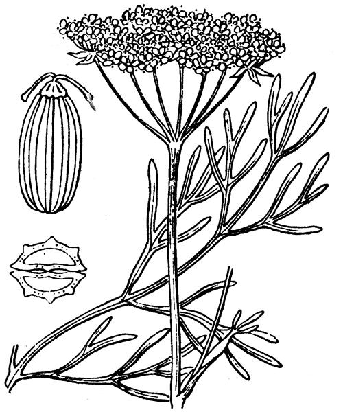 Seseli montanum L. - illustration de coste