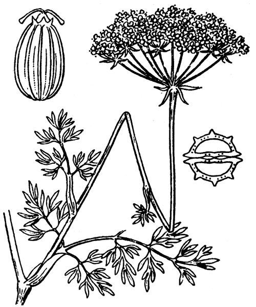 Seseli annuum subsp. carvifolium (Vill.) P.Fourn. [1937] - illustration de coste