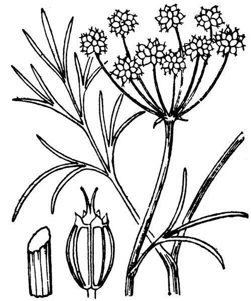 Oenanthe lachenalii C.C.Gmel. - illustration de coste