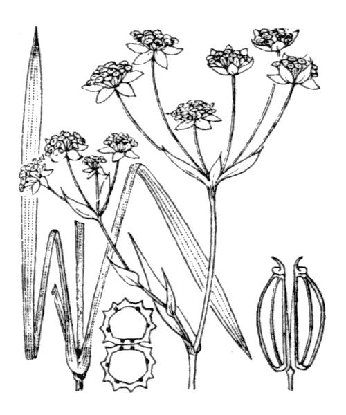 Bupleurum ranunculoides L. - illustration de coste