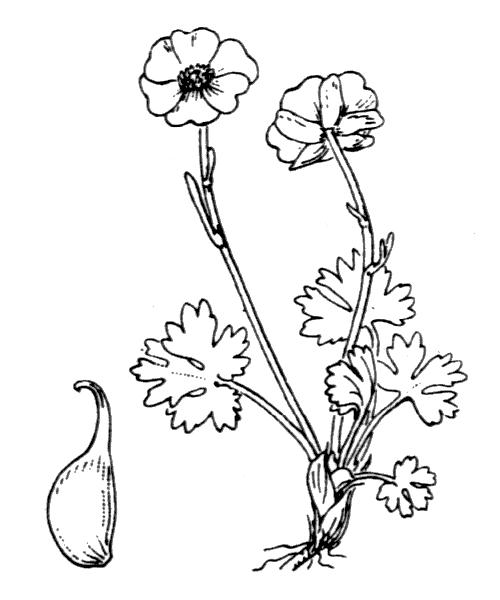 Ranunculus alpestris L. - illustration de coste