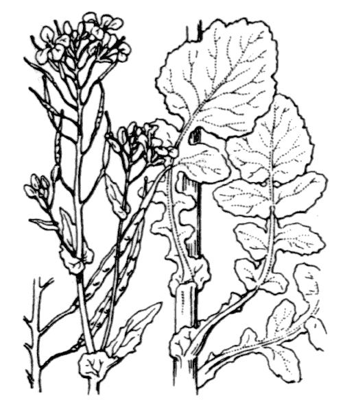 Brassica napus L. - illustration de coste