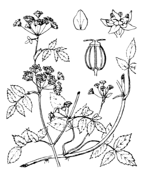 Helosciadium nodiflorum (L.) W.D.J.Koch - illustration de coste