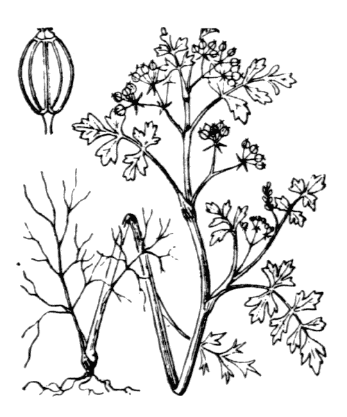 Helosciadium inundatum (L.) W.D.J.Koch - illustration de coste