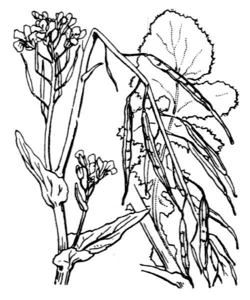 Brassica rapa L. - illustration de coste