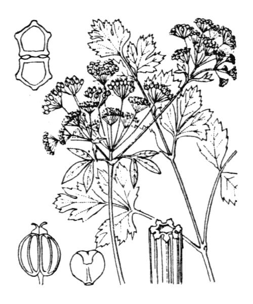 Apium graveolens L. - illustration de coste