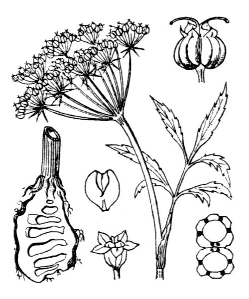 Cicuta virosa L. - illustration de coste