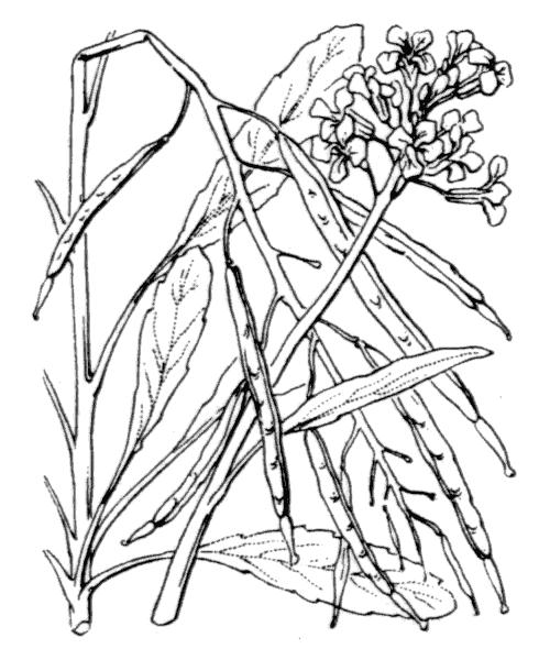 Coincya richeri (Vill.) Greuter & Burdet - illustration de coste