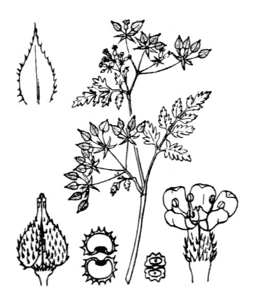 Anthriscus caucalis M.Bieb. var. caucalis - illustration de coste