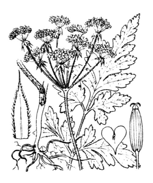 Chaerophyllum temulum L. - illustration de coste