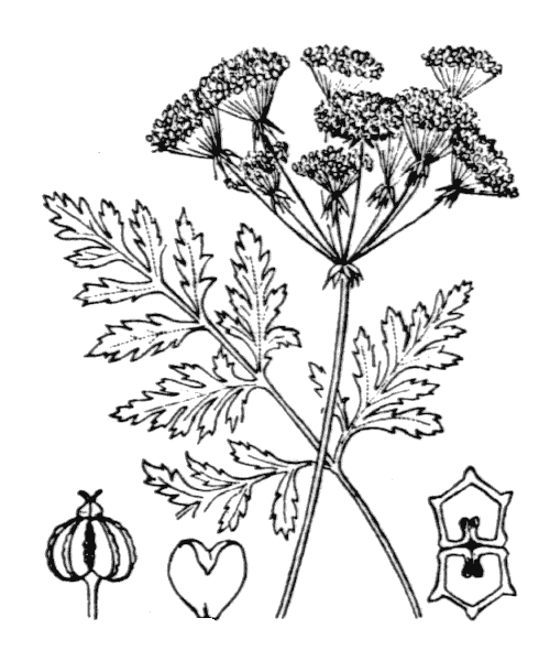Conium maculatum L. [1753] - illustration de coste