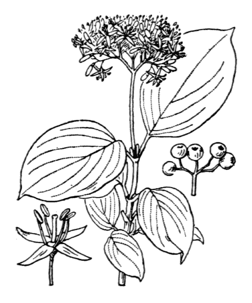 Cornus sanguinea L. - illustration de coste