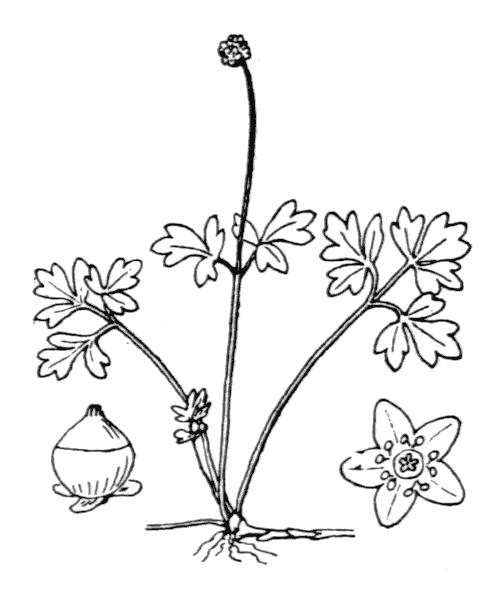 Adoxa moschatellina L. [1753] - illustration de coste