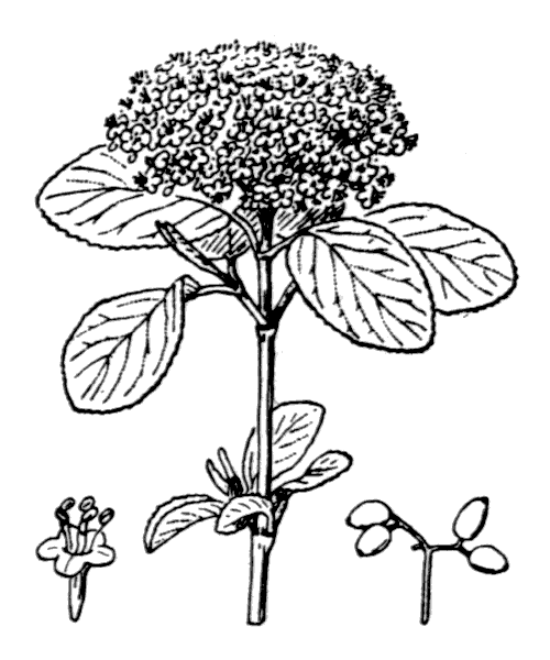 Viburnum lantana L. [1753] - illustration de coste