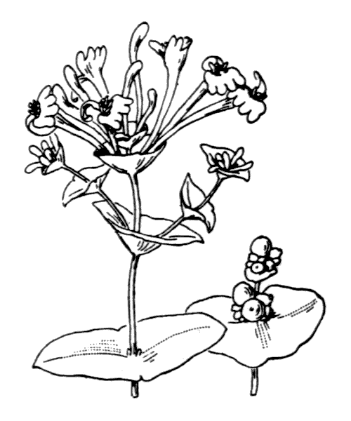Lonicera implexa Aiton - illustration de coste