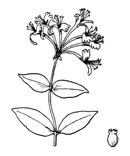 Lonicera periclymenum L. - illustration de coste