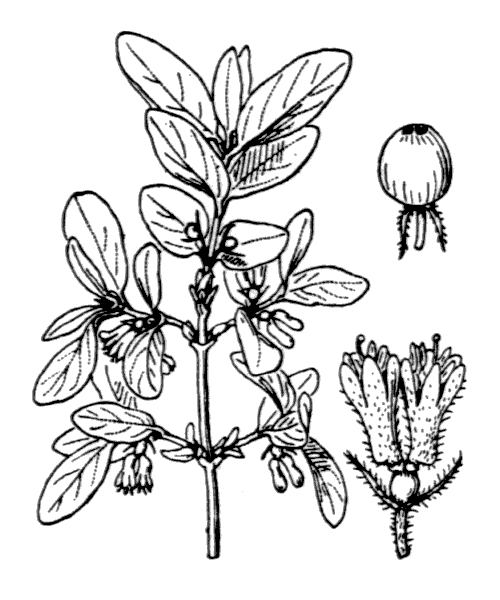 Lonicera caerulea L. - illustration de coste
