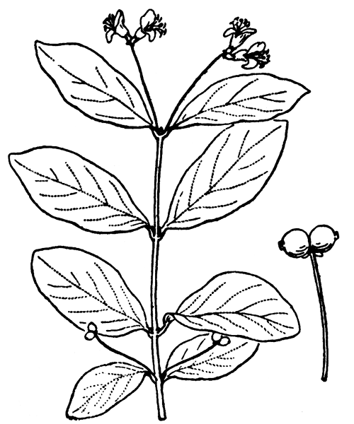 Lonicera nigra L. - illustration de coste
